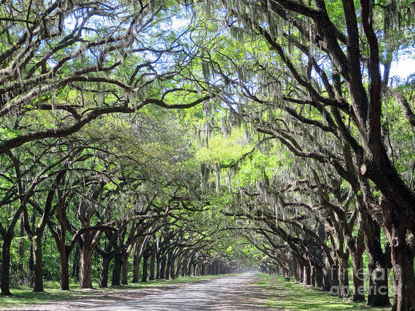 Photograph - Live Oak Canopy by Rick Locke