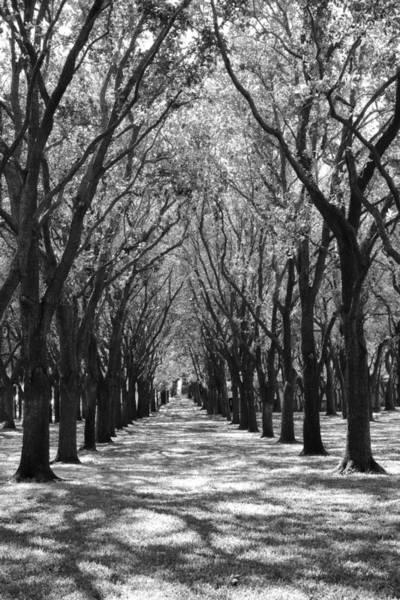 Photograph - Live Oak Corridor by Angela Rath