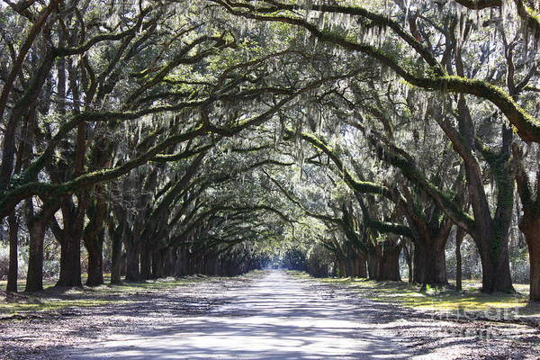 Best Seller Photograph - Live Oak Lane In Savannah by Carol Groenen