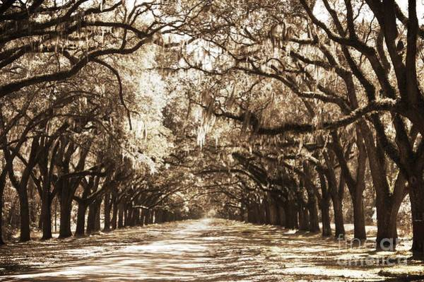 Photograph - Live Oak Lane In Sepia by Carol Groenen