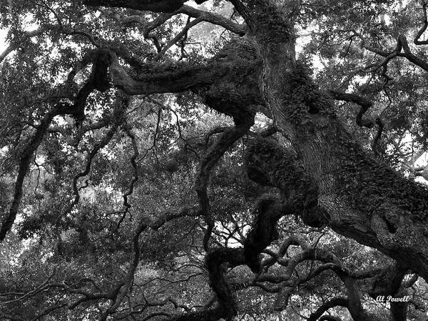 Wall Art - Photograph - Live Oak Limbs by Al Powell Photography USA
