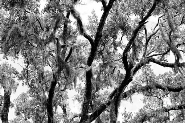 Photograph - Live Oak Lines Savannah by John Rizzuto