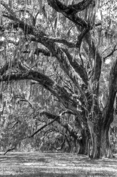 Wall Art - Photograph - Live Oak Path by Drew Castelhano