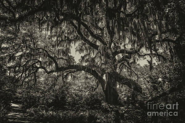 Photograph - Live Oak Tree Sepia by Dale Powell