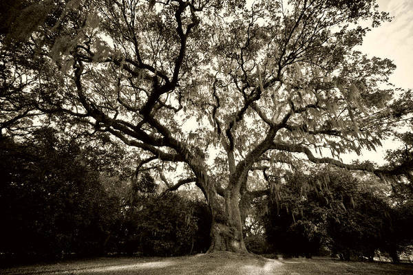 Photograph - Live Oak Tree With Spanish Moss by Dustin K Ryan