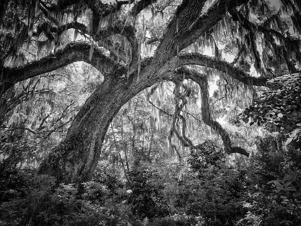 Photograph - Live Oak by Van Sutherland