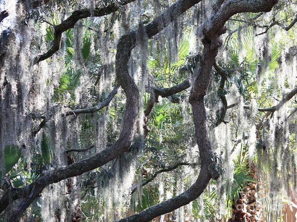 Photograph - Live Oak With Spanish Moss And Palms by Carol Groenen