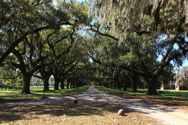Photograph - Live Oaks Canopy by Jill Lang