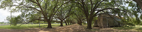 Live Oaks Panorama Art Print