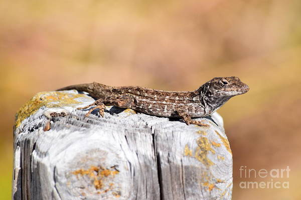 Brown Anole Wall Art - Photograph - Lizard by Agnes Lankus