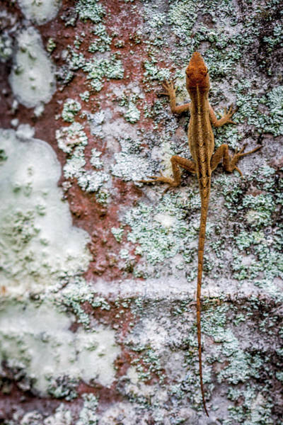 Brown Anole Wall Art - Photograph - Lizard And Lichen On Brick by Susie Weaver