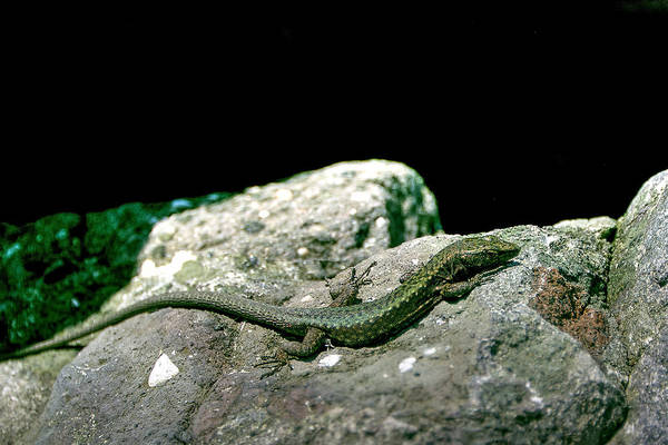 Photograph - Lizard by Gouzel -