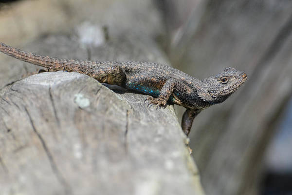 Photograph - Lizard On Wood Fence Shiloh Tennessee 031620161698 by WildBird Photographs