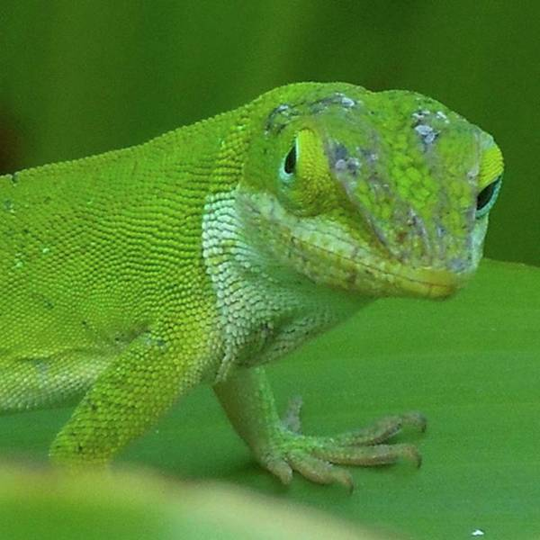 Photograph - Lizard With Attitude! what Are You by Cheray Dillon