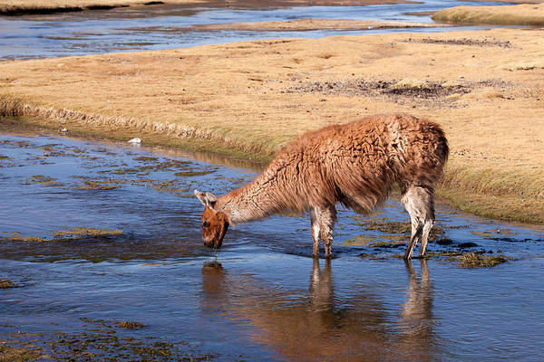Photograph - Llama Drinking In Water by Aivar Mikko