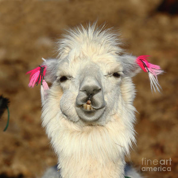 Photograph - Llama Happiness by James Brunker