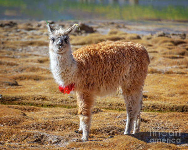 Wall Art - Photograph - Llama In Bolivia by Delphimages Photo Creations