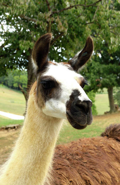 Photograph - Llama by Karen Harrison