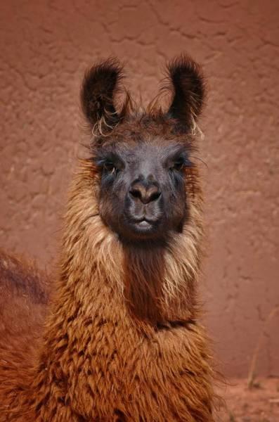 Photograph - Llama by Skip Hunt