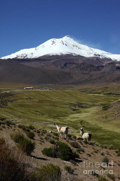Photograph - Llamas And Guallatiri Volcano Chile by James Brunker
