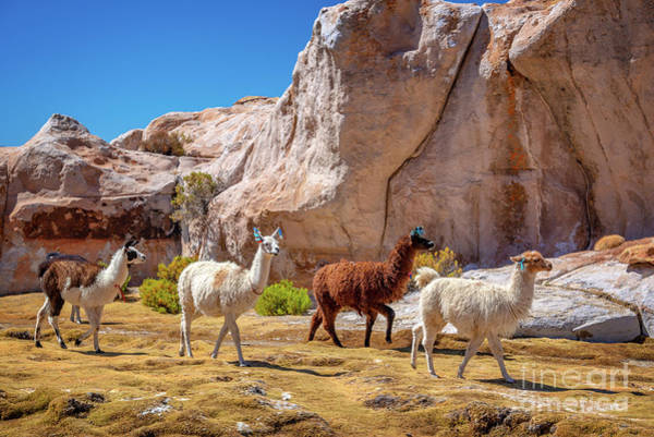 Wall Art - Photograph - Llamas In Bolivia by Delphimages Photo Creations