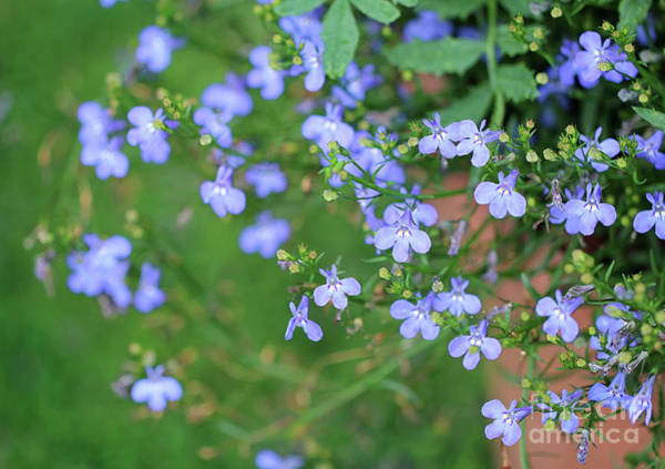 Photograph - Lobelia Flowers by Karen Adams