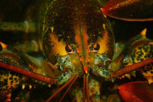 Photograph - Lobster At Young's Lobster Pound by Polly Castor