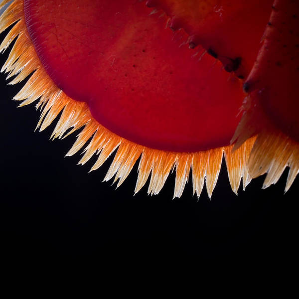 Wall Art - Photograph - Lobster Feathers by Jim DeLillo