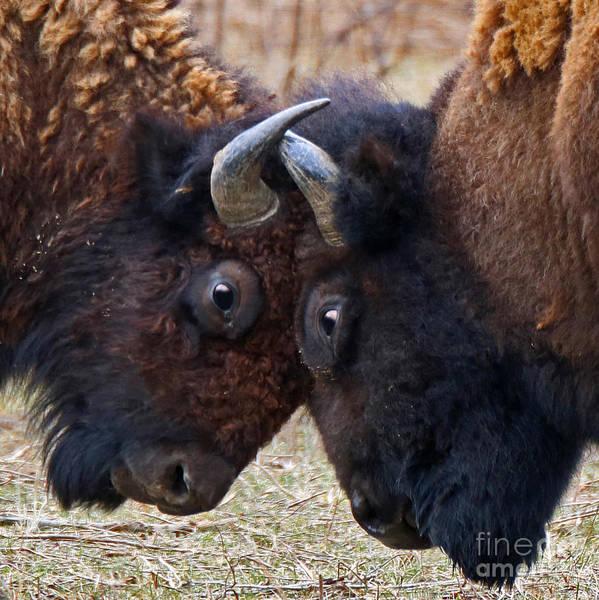 Wall Art - Photograph - Locking Horns by Steve Gass