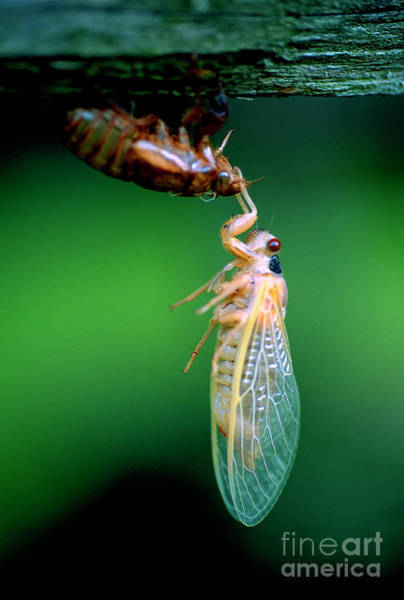 Wall Art - Photograph - Locust Fully Emerged And Wings Open by William Kuta