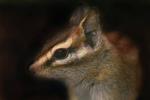 Photograph - Lodgepole Chipmunk  by Brian Cross