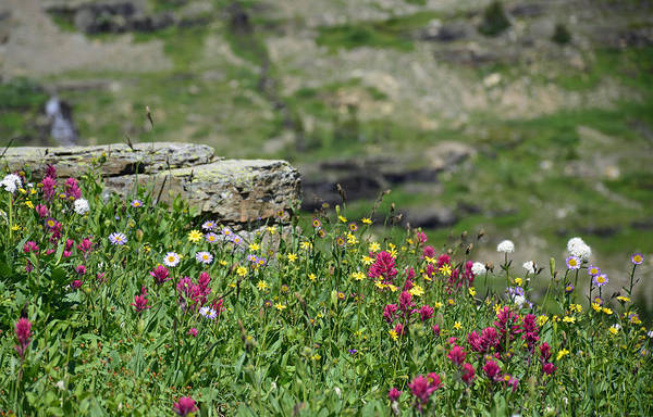 Photograph - Logan Pass Wildflowers In Glacier National Park 1.3 by Bruce Gourley
