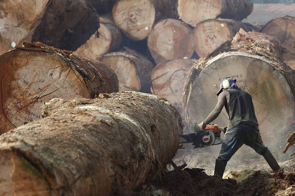 Equatorial Africa Wall Art - Photograph - Logger Cutting Tree Trunk, Cameroon by Cyril Ruoso