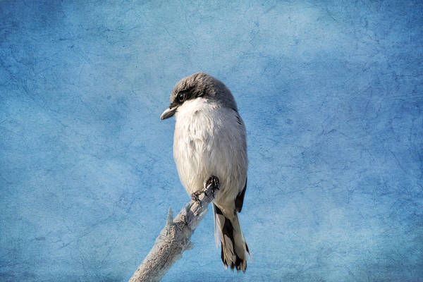 Wall Art - Photograph - Loggerhead Shrike 2 by Kim Hojnacki