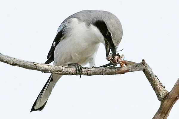 Photograph - Loggerhead Shrike Eating by Dawn Currie