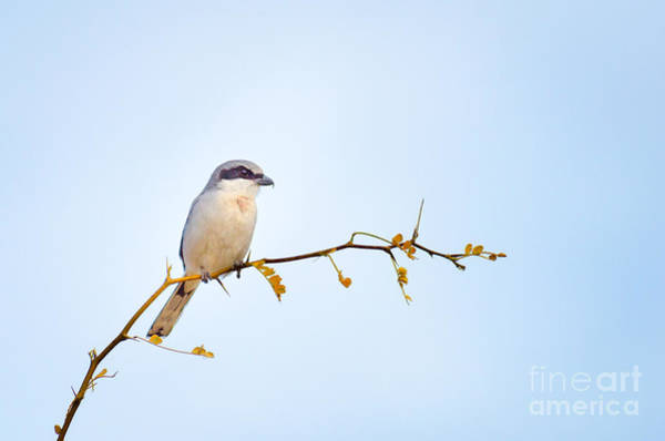 Photograph - Loggerhead Shrike by Emily Bristor