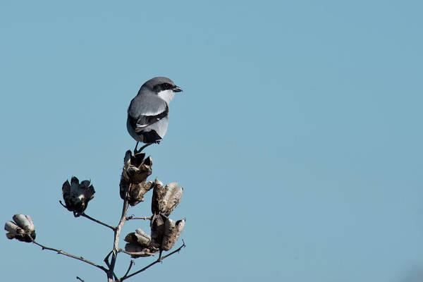 Photograph - Loggerhead Shrike by Frank Madia