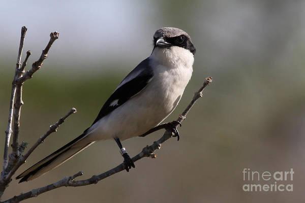 Photograph - Loggerhead Shrike by Meg Rousher