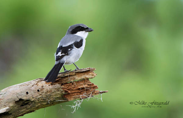 Photograph - Loggerhead Shrike by Mike Fitzgerald
