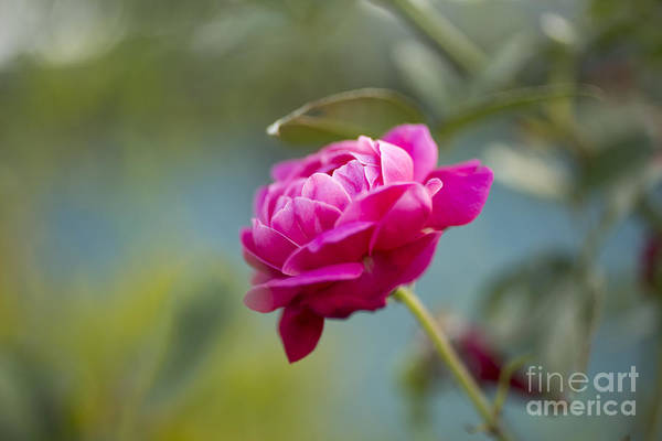 Photograph - Lokelani - Official Flower Of Maui by Charmian Vistaunet