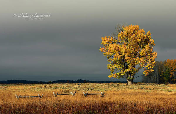 Photograph - Lone Aspen by Mike Fitzgerald