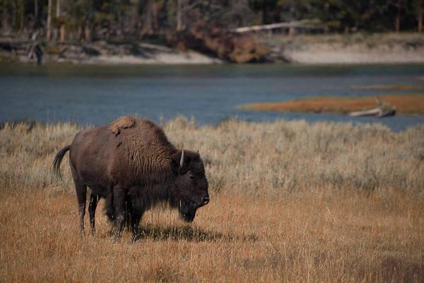 Photograph - Lone Bison by Cliff Wassmann