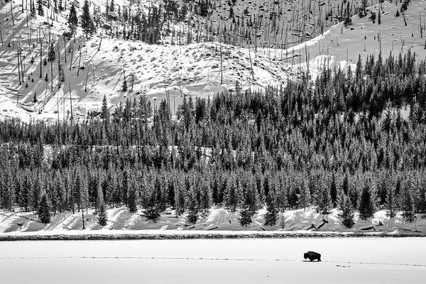 Photograph - Lone Bison In Winter - Yellowstone by Stuart Litoff