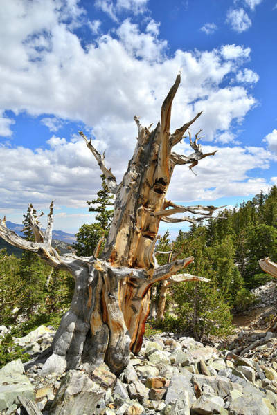 Photograph - Lone Bristlecone Pine by Ray Mathis