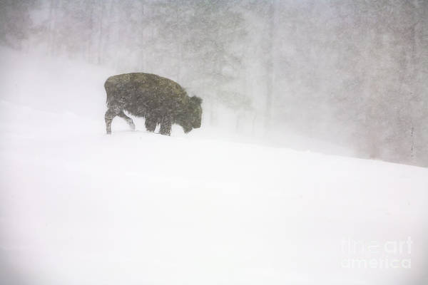 Photograph - Lone Buffalo Bull In Winter Storm by Craig J Satterlee