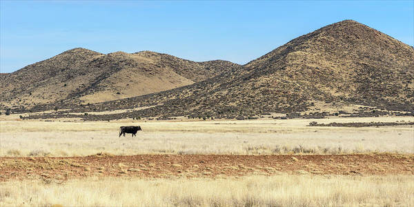 Photograph - Lone Cattle by Jon Exley