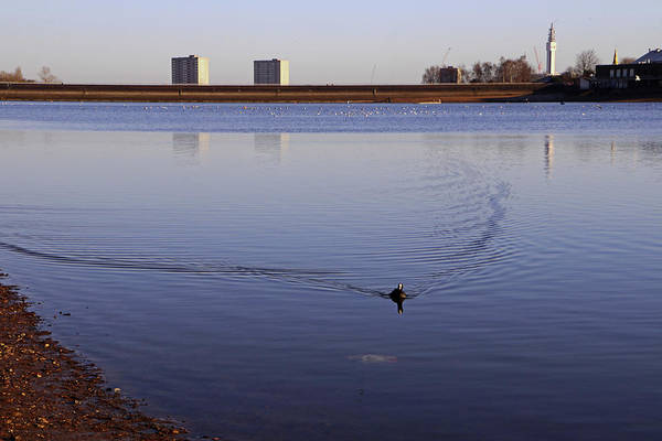 Photograph - Lone Coot by Tony Murtagh