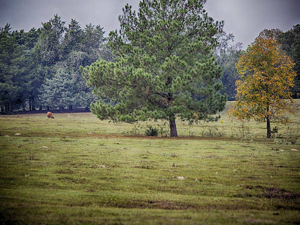 Photograph - Lone Cow And Trees by Charles McKelroy