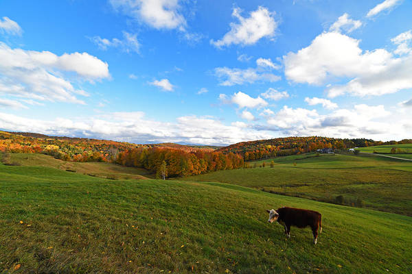 Photograph - Lone Cow. Jenne Farm Cow Reading Vermont by Toby McGuire