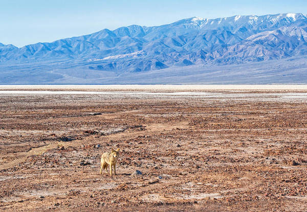 Photograph - Lone Coyote by Rick Wicker